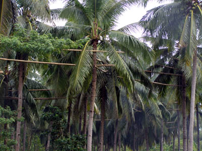 Batangas coconut trees for Tuba and vinegar making