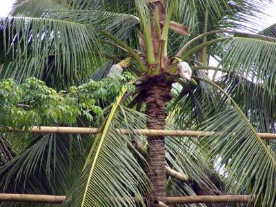 tuba or palm wine